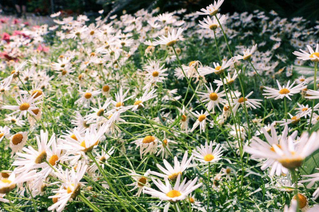 Longwood Gardens - Daisies, my favorites!