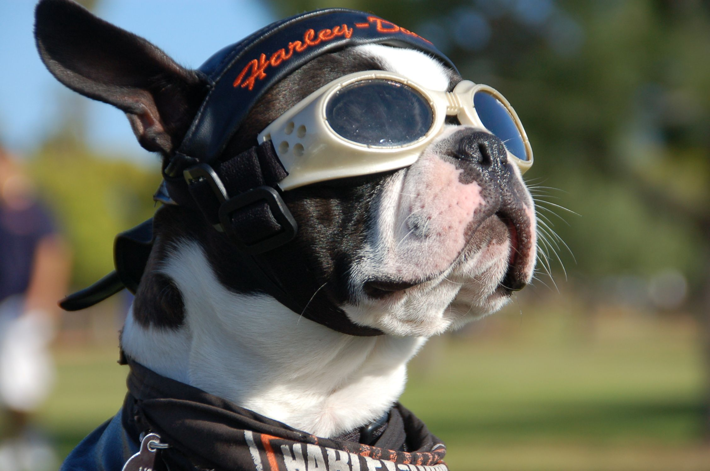 bulldog helmet biker french bulldog vanessa stephen s wedding ideas 925
