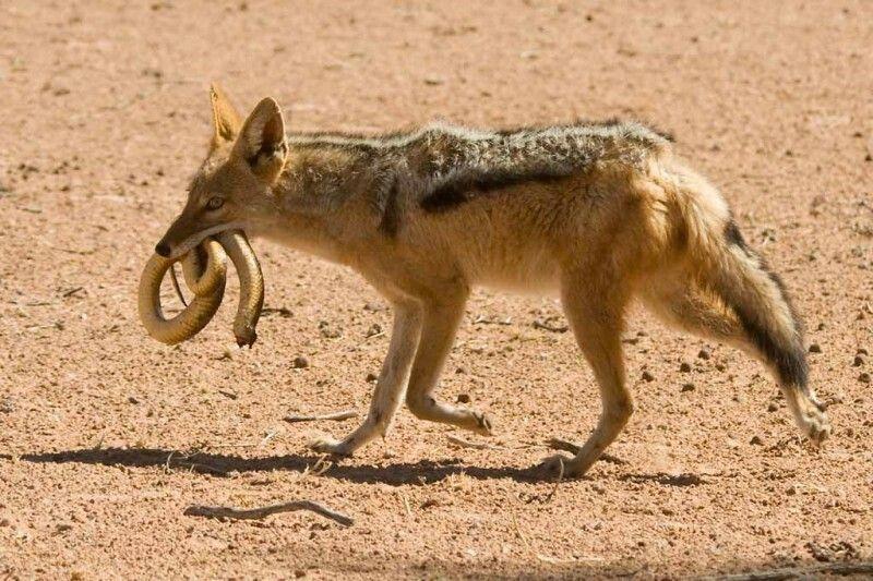 Jackal jackal wild dogs animals