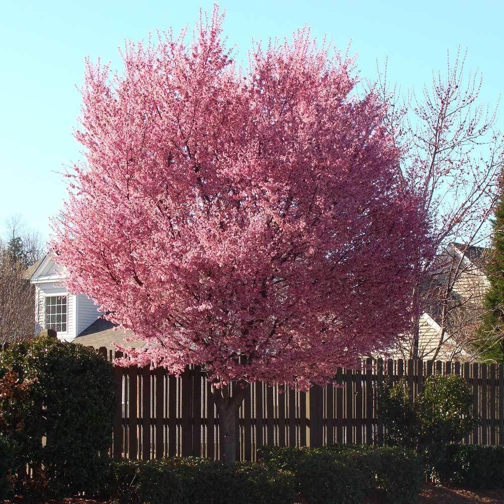 Okame Cherry Tree Cherry Tree Blossom Trees Garden Trees