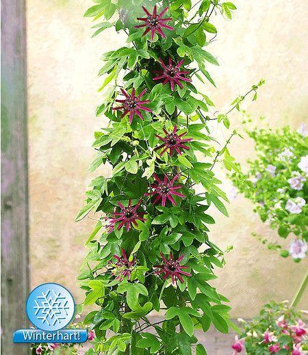 Winterharte Passionsblume Ladybirds Dream 1 Pflanze Winterharte Pflanzen Passionsblume Kletterpflanzen