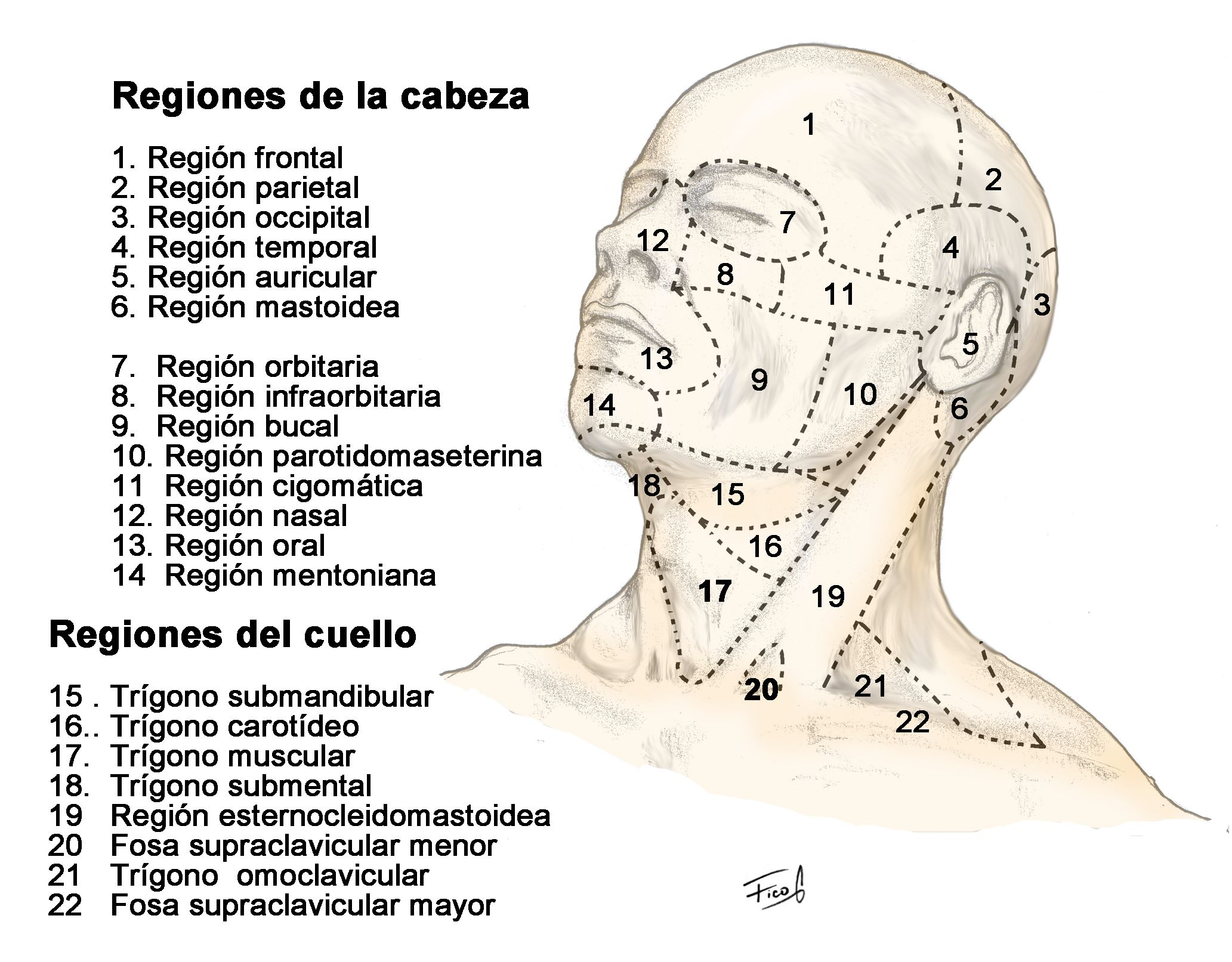Regiones anatómicas de la cabeza y cuello | Región | Pinterest ...