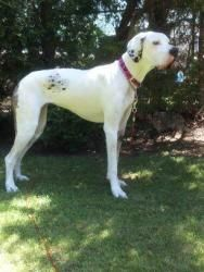 Adopt Zoey On Great Dane Dogs Harlequin Great Danes Great Dane