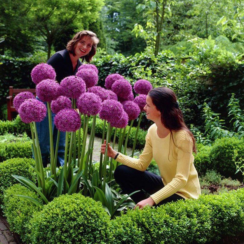 10pcs Purple Giant Allium Giganteum Flower Black Seeds Home Garden