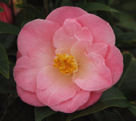 April Remembered Camellia Camellia Japonica April Remembered Produces Semi Double Petal Blooms White Or Light P Live Plants Plants Camellia Flower