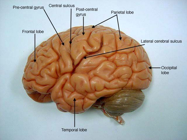 cranial+nerves+on+models+labeled | Brain Model - (Somso) | Anatomy ...