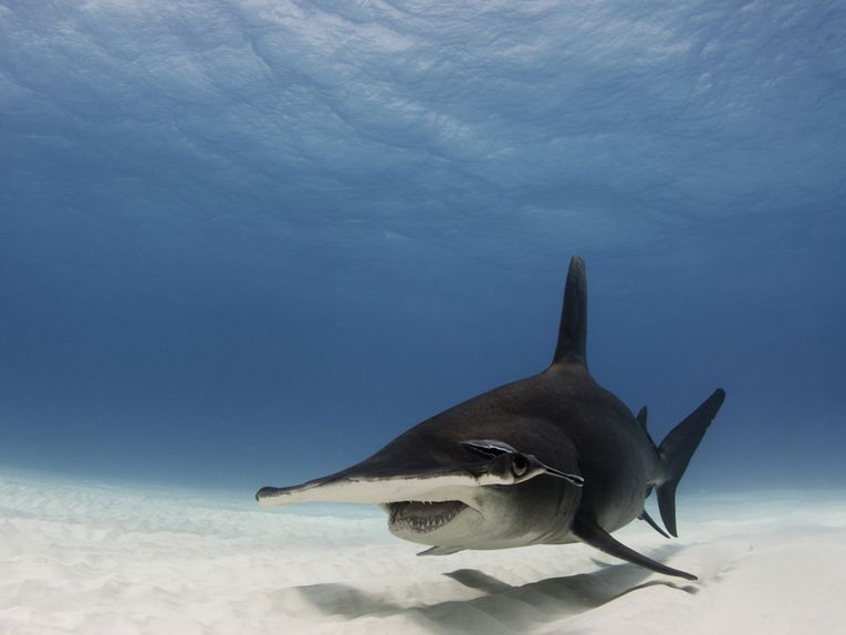 Shark Stewards Project Report   Conservation   The Earth Times