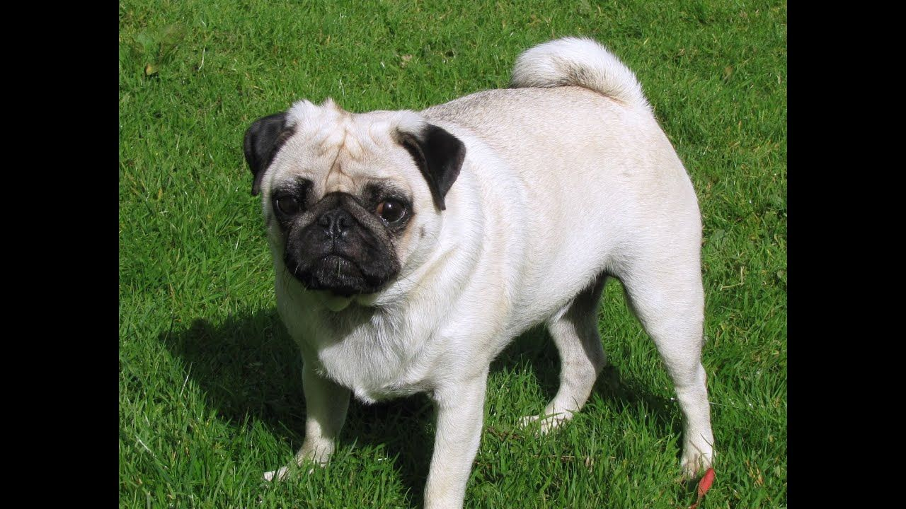 Boerboel Dog Like Giant Pug Pug Dog Pug Dogs For Sale Large