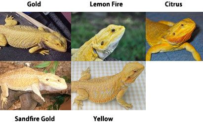 Yellow Gold Bearded Dragons Animals