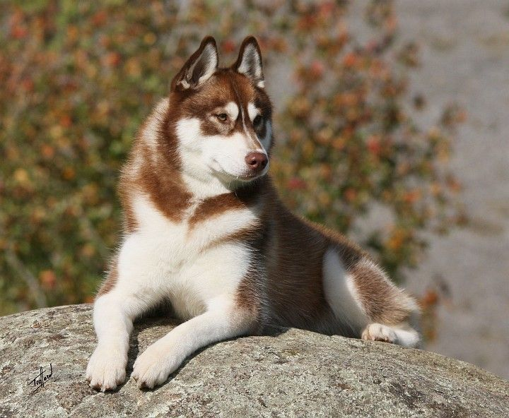 Red Siberian Husky This Is What Hunter S Dad Looked Like Red