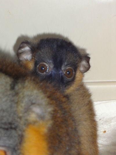 Lcf Baby Kit Baby Kit Baby Lemur