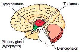 The Diencephalon. The Brain Stem. The Cerebellum. Brain ...