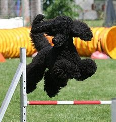 Poodle joy. Seriously; they LOVE it!