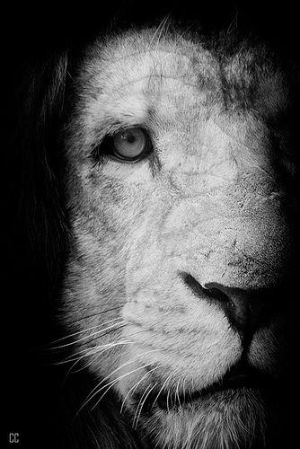 lionz.
