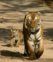 """Jetzt zu Weihnachten noch viele Tiger unterstützen. Mit Hilfe des """"Rette den Tiger"""" Projekt von der Tierschutzorganisation WWF.   Link: https://tiger.patenschaft.at/de/rette-den-tiger/?cf=rettedentiger"""