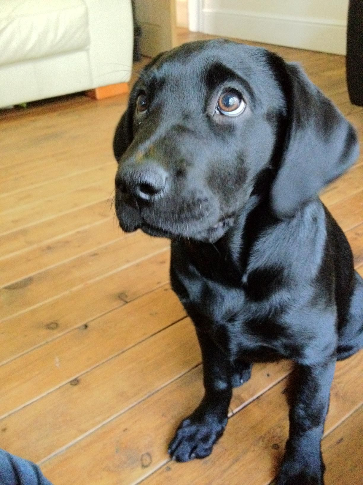 Adorable Black Labrador Puppy Common Dog Names Dog Names Dogs