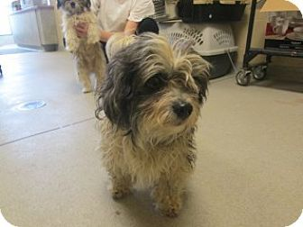 Shih Tzu Mix Dog For Adoption In Joplin Missouri Kristoffe 106233
