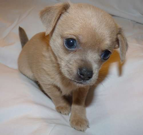 Puppy Purchase Delight Or Nightmare Chihuahua Puppies