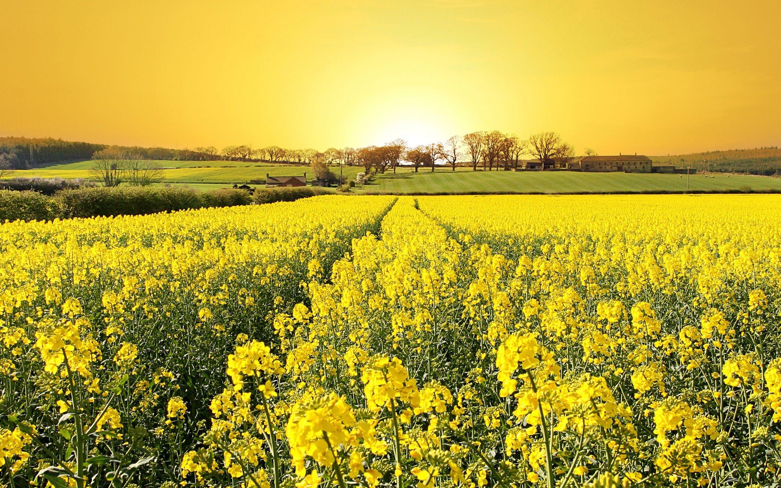Rapeseed Landscape Field Flowers Yellow Flowers Yellow Fields Spring Flowers Wallpaper Field Wallpaper