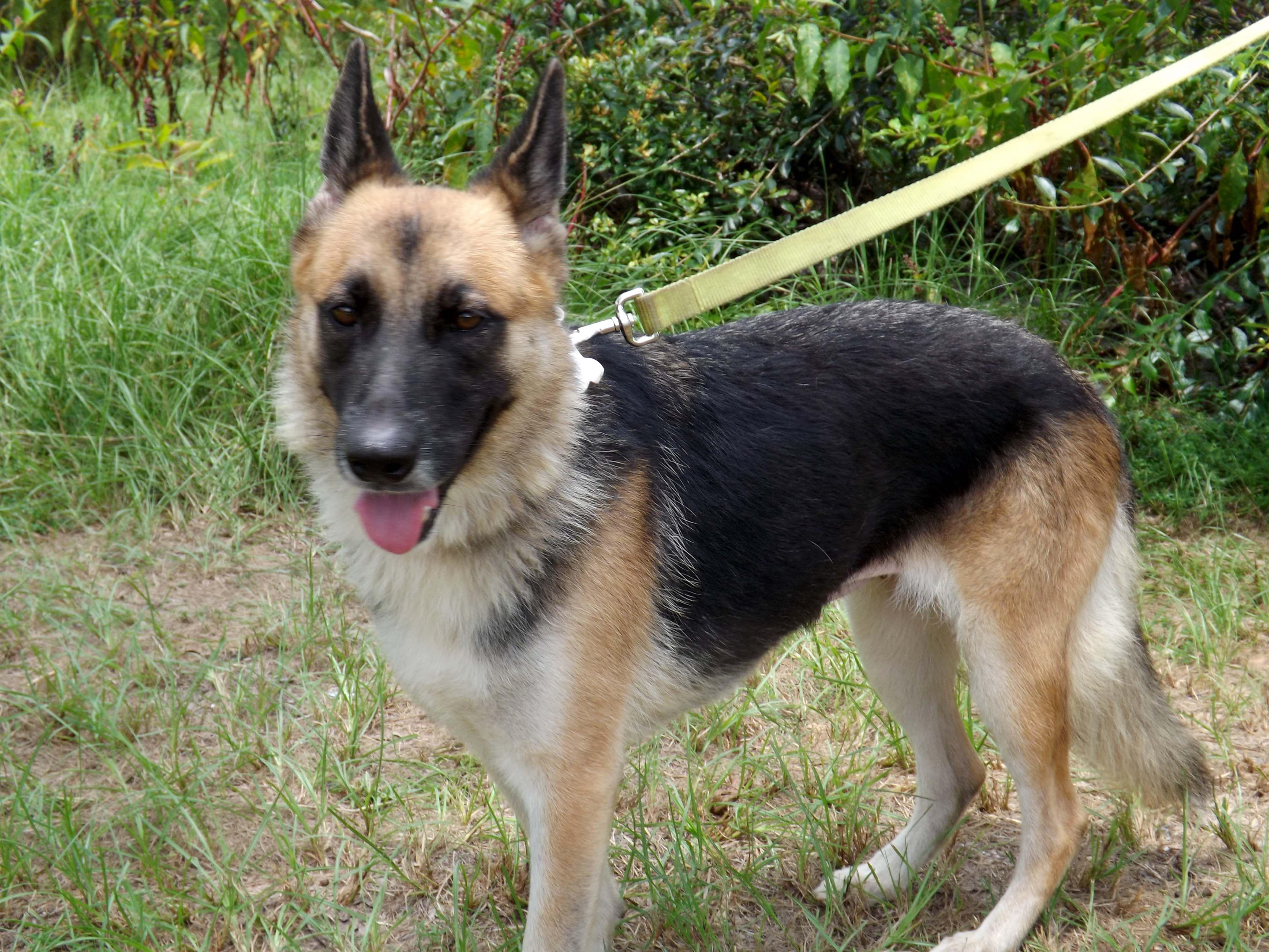 German Shepherd Dog dog for Adoption in Dunnellon, FL. ADN
