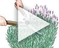 Photo of Cut and care for lavender properly / #care #Cut #HerbsGardenlandscaping #Lavende…