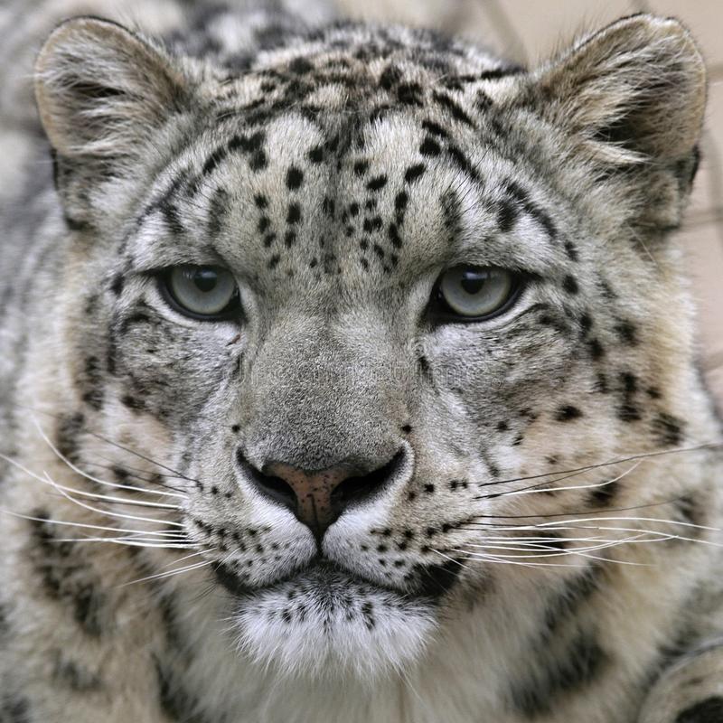 Snow Leopard S Portrait Snow Leopard S Close Up Portrait Spon