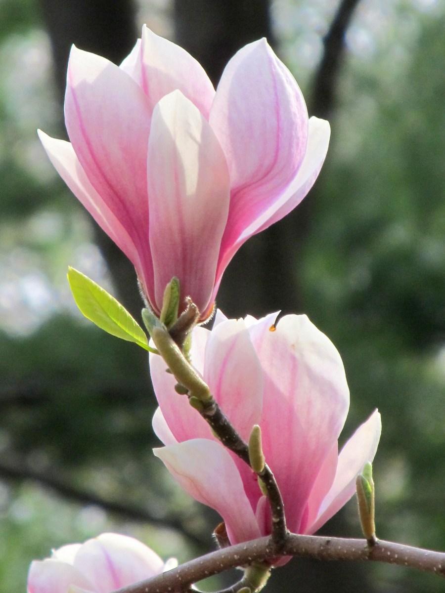 Цветы магнолия: описание видов, 90 фото красивой магнолии ...