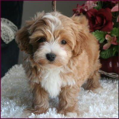 White Brown Maltipoo Maltipoo Puppy Cute Baby Animals Poodle