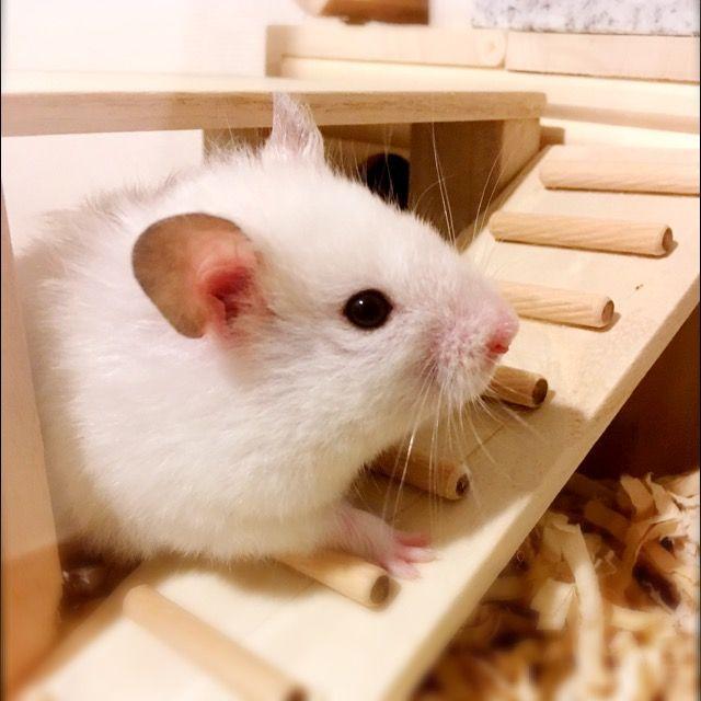 Hamster おしゃれまとめの人気アイデア Pinterest Yuko O ハムスター 動物 ペット