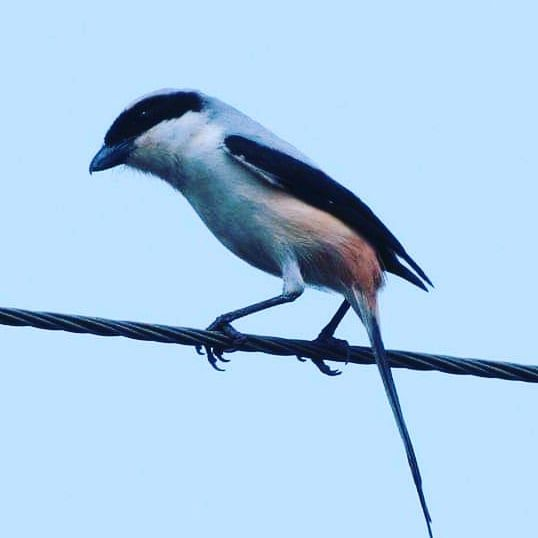 Long tail shrike are resident bird's in shade coffee.#long