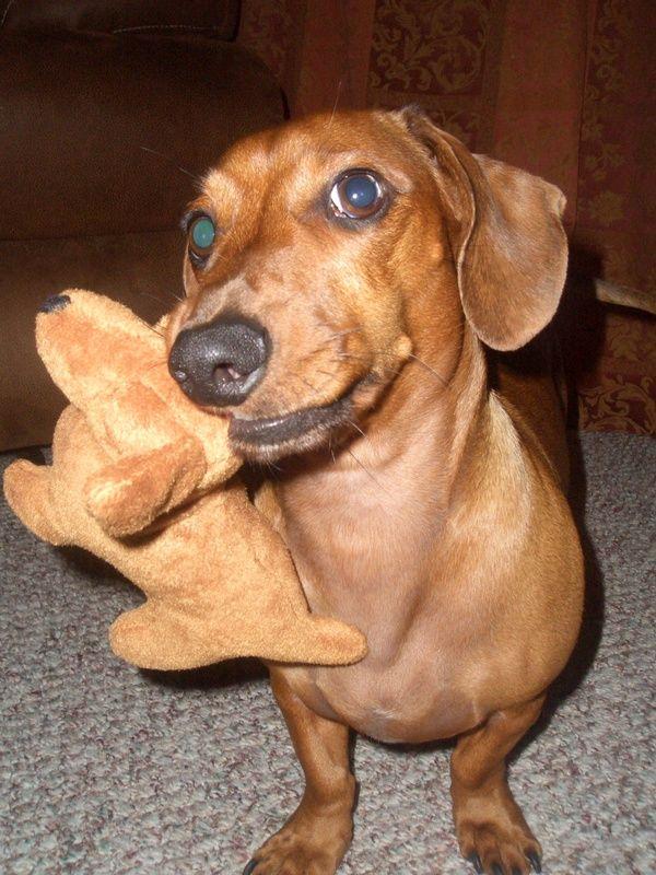 My Grandpuppy Puck Yiddishacup Dachshund Love Dog Best Friend