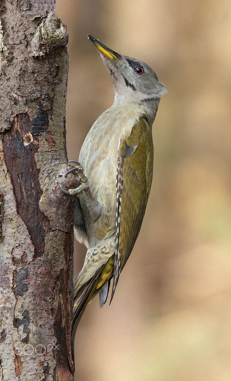 Grey Headed Woodpecker Animals Photo By Holger2061 Rarme Com F9gzi