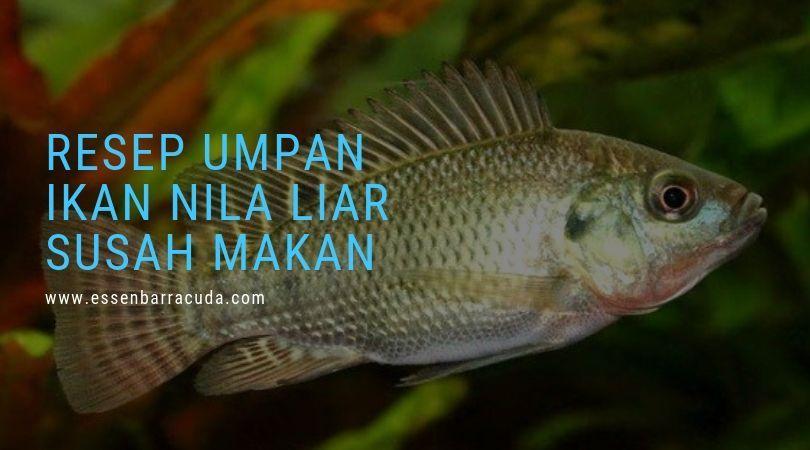 Umpan Ikan Nila Liar Susah Makan Ikan