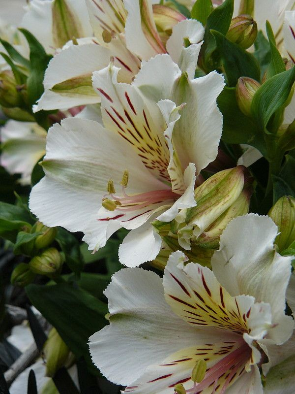 Alstroemeria White Ons A Garden Apartment Designed By Hedge Design Nursery