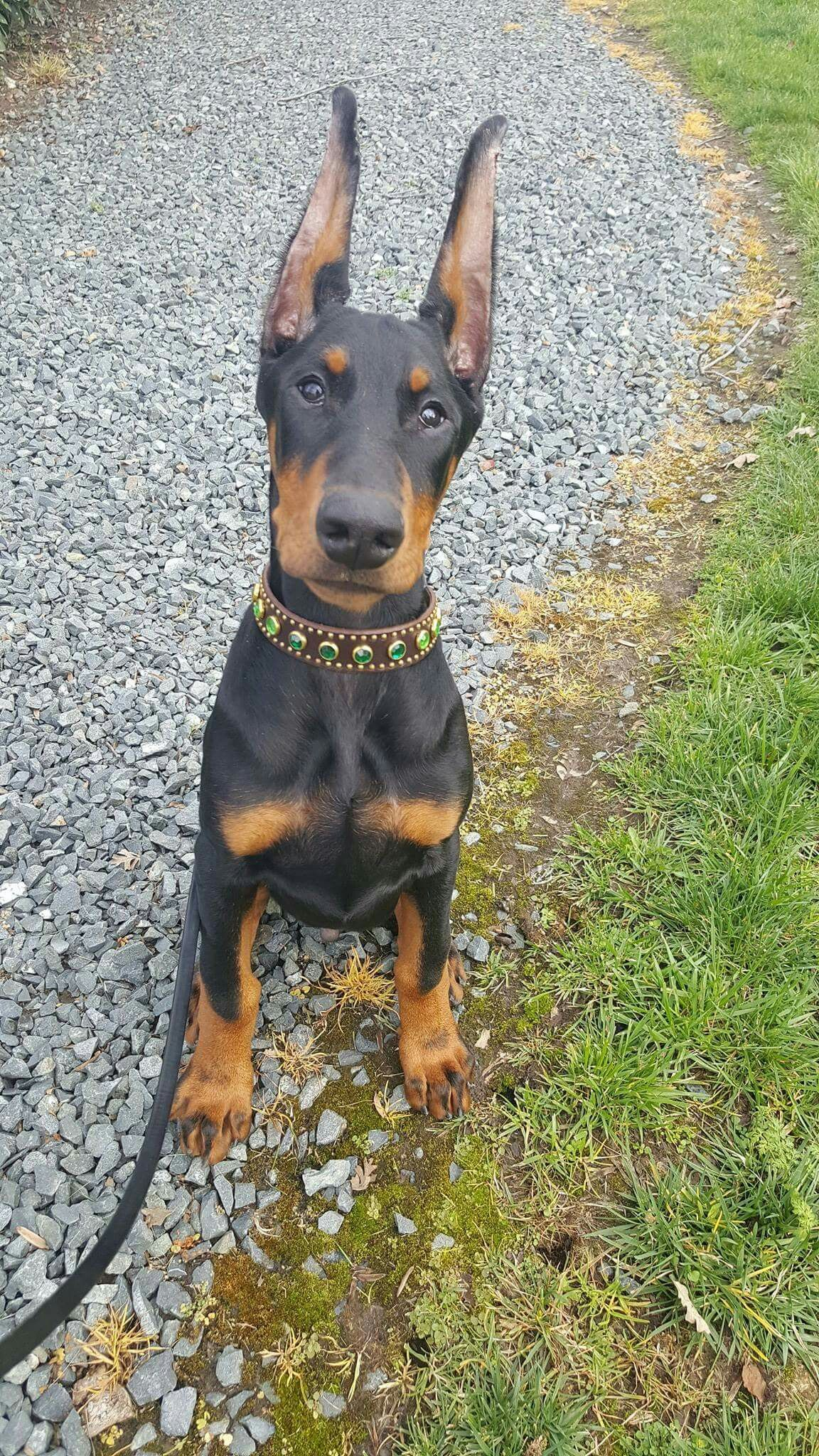 Those Ears Though Doberman Pinscher Dog Doberman Puppy