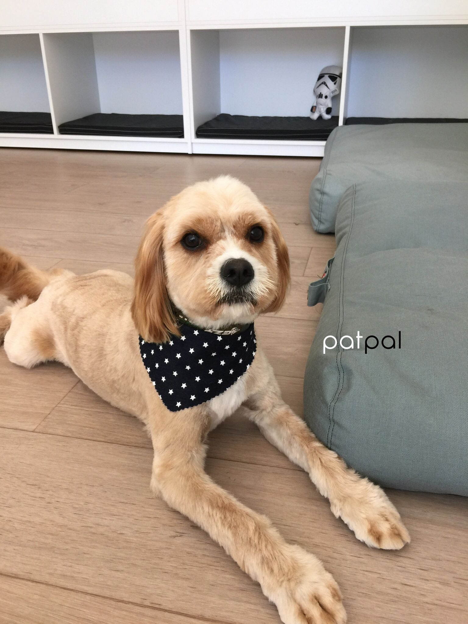 Short hair cut for cavoodle at patpal dog grooming willoughby short hair cut for cavoodle at patpal dog grooming willoughby sydney patpaldoggrooming solutioingenieria Choice Image