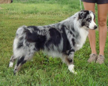 Self Blue Merle Australian Shepherd Google Search With Images