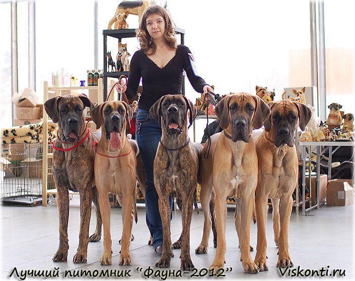 Great Danes Family Great Dane Dogs Dane Dog Great Dane