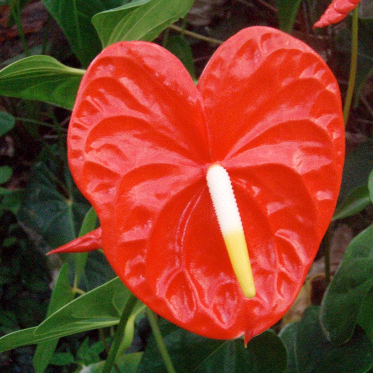Red Anthurium All Year