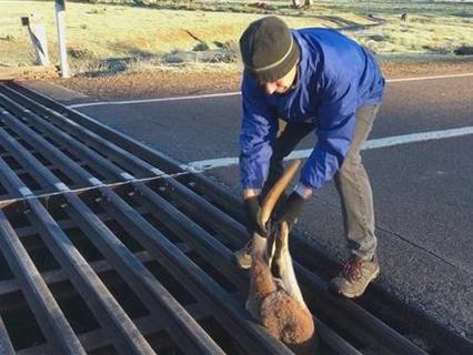 In der Falle: Känguru steckt in Bodenrost fest