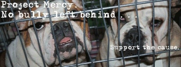 Project Mercy 23 English Bulldogs Rescued From Puppy Mill
