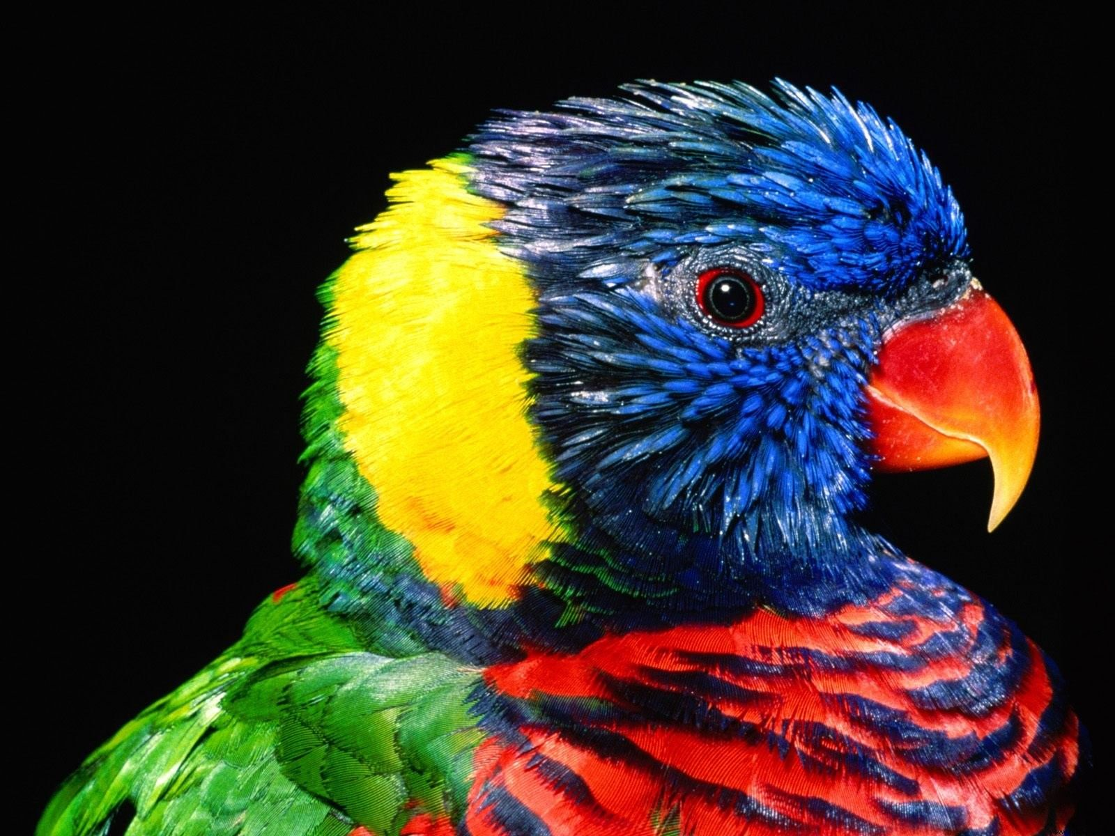 Parrot Wallpapers | Free Download Colorful Birds HD Desktop Images