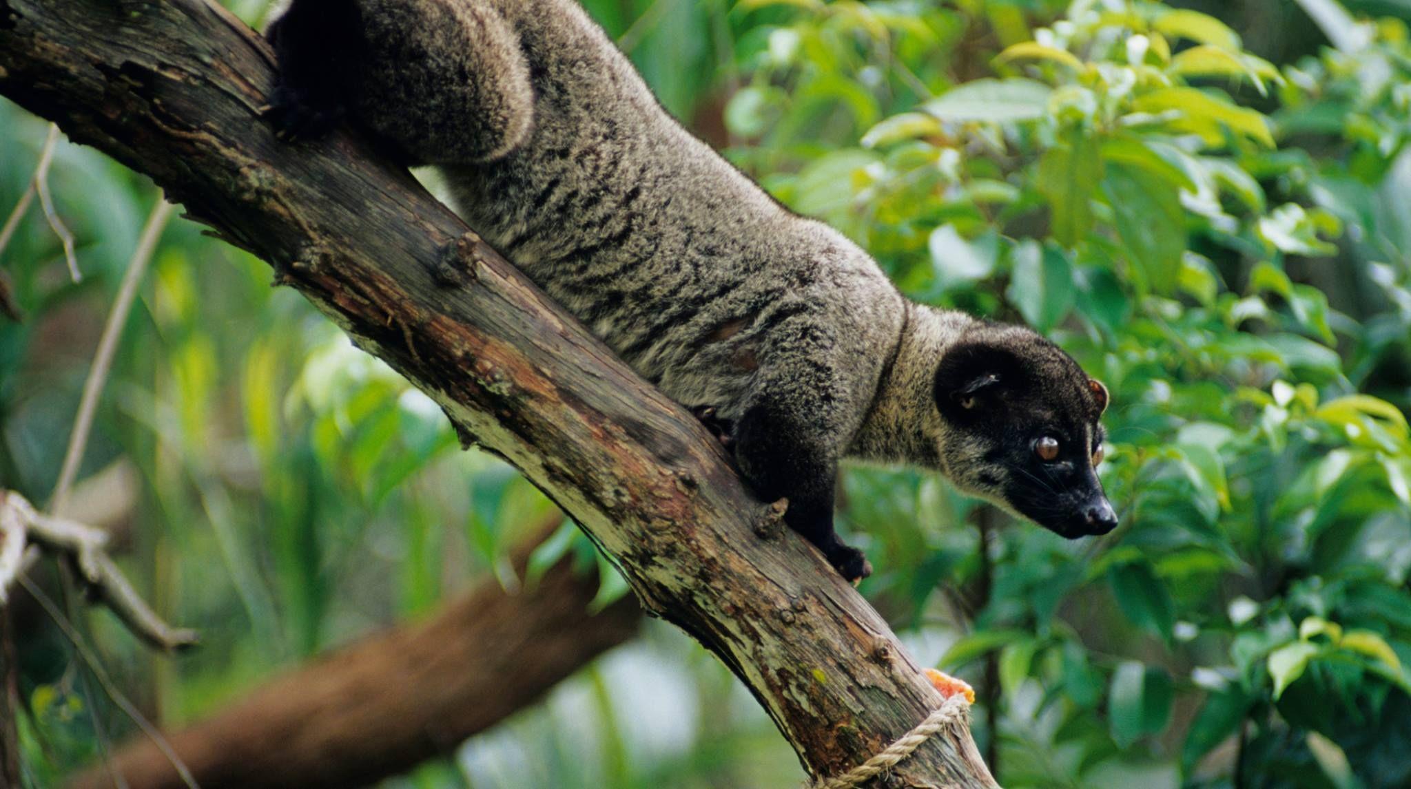 Smalltoothed Palm Civet Asian palm civet, Animals, Cats