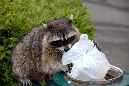 Keeping Animals Out Of Your Garbage Getting Rid Of Raccoons Animals Animal Control