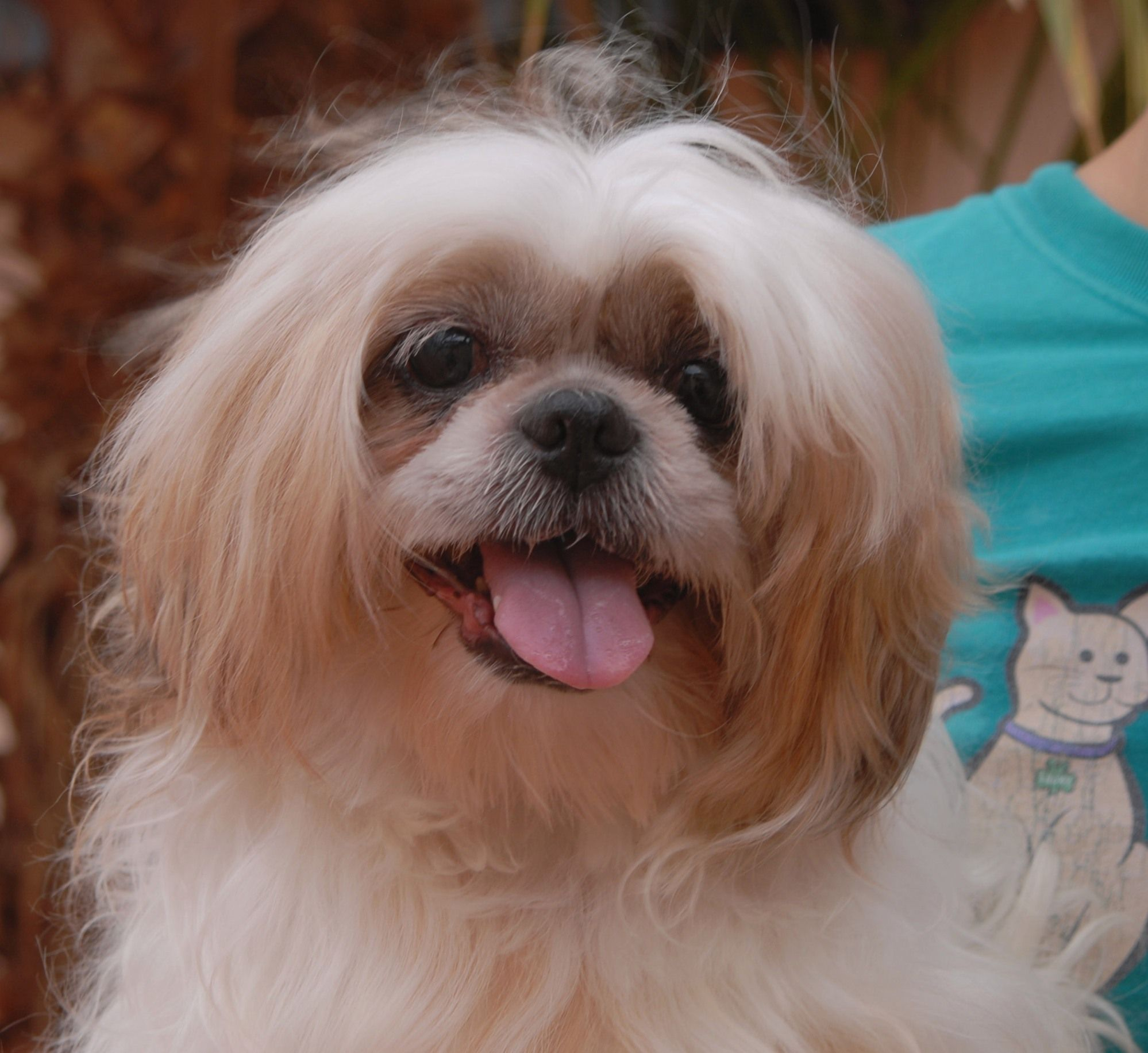 Pappy, a calmnatured ShihTzu, asks for a forever home