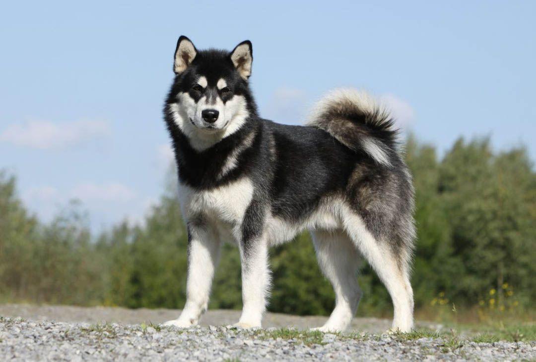 Alaskan Malamute Breed Profile Australian Dog Lover The