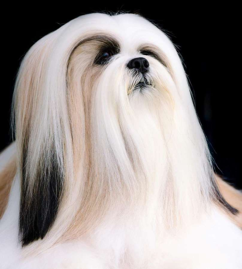 Tibetan Terrier medium sized dog that does not shed Fam