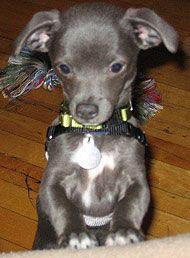 Mini Greyhound Chihuahua Mix Google Search Italian Greyhound