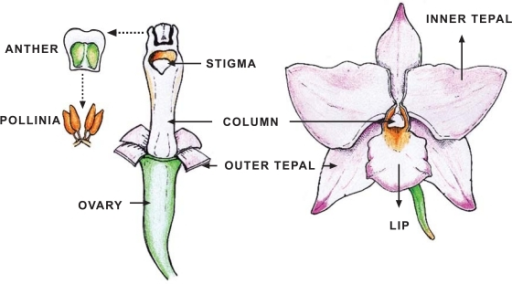 Schematic diagram of an orchid flower. Orchid flower