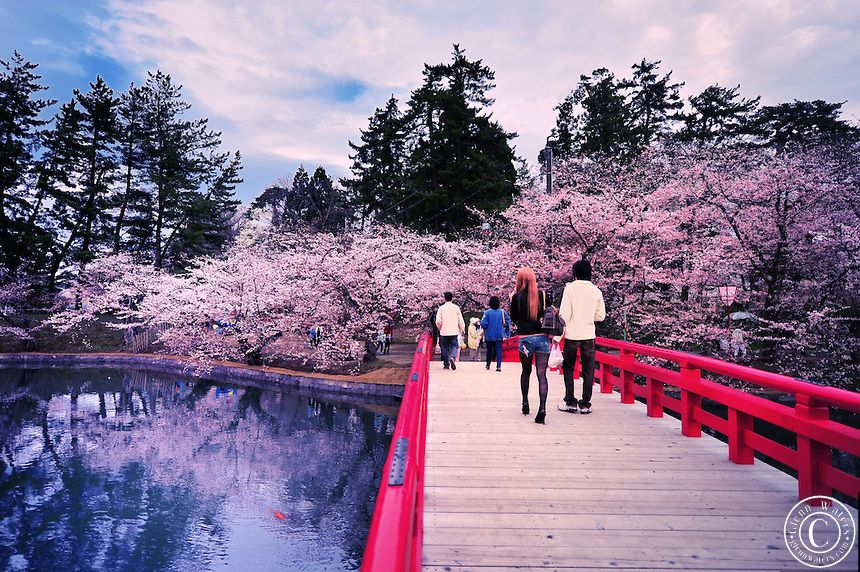 Viewing Japan S Cherry Trees In Bloom An Otherworldly Experiance Japanese Cherry Blossom Cherry Blossom Japan Cherry Blossom